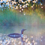Alfred Berg Finland Focus - picture of a red throated loon